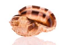 θαλασσινό κοχύλι αρπών Στοκ εικόνα με δικαίωμα ελεύθερης χρήσης