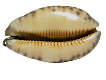θαλασσινό κοχύλι κρεμα&sigma Στοκ Εικόνες