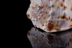 θαλασσινό κοχύλι με την αντανάκλαση στο μαύρο υπόβαθρο Στοκ Εικόνες