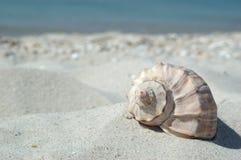 θαλασσινό κοχύλι παραλιώ Στοκ εικόνα με δικαίωμα ελεύθερης χρήσης