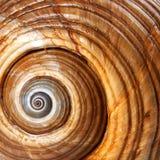 Θαλασσινό κοχύλι πολύ μεγάλο galea Tonna σαλιγκαριών θάλασσας ή γιγαντιαίο tun στοκ εικόνες