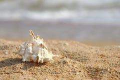 Θαλασσινό κοχύλι σε μια αμμώδη παραλία. Στοκ Φωτογραφίες