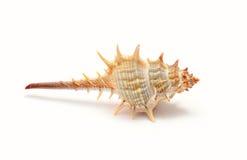θαλασσινό κοχύλι τροπικό Στοκ Φωτογραφία