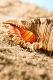 θαλασσινό κοχύλι Στοκ Εικόνες