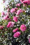 Θαμνώδης αυξήθηκε, με τα ρόδινα λουλούδια στοκ εικόνα