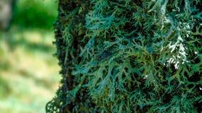 Θαμνώδης λειχήνα σε ένα δέντρο στοκ εικόνες με δικαίωμα ελεύθερης χρήσης