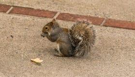 Θαμνώδης παρακολουθημένος σκίουρος που τρώει τα καρύδια στοκ φωτογραφία με δικαίωμα ελεύθερης χρήσης