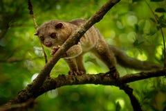 Θαμνώδης-παρακολουθημένο Olingo - το gabbii Bassaricyon γνωστό επίσης ως βόρειο olingo, είναι ένα χαριτωμένο ζώο δέντρο-κατοικιών στοκ εικόνες