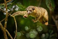 Θαμνώδης-παρακολουθημένο Olingo - το gabbii Bassaricyon γνωστό επίσης ως βόρειο olingo, είναι ένα χαριτωμένο ζώο δέντρο-κατοικιών στοκ φωτογραφία