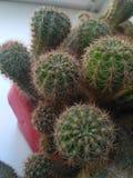 Θαμνώδης πράσινος κάκτος Echinocereus στοκ φωτογραφία