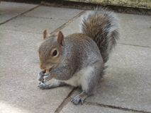 Θαμνώδης σκίουρος που τρώει ένα φυστίκι στοκ εικόνες