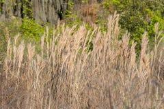 Θαμνώδης Bluestem χλόη, θαμνώδες Beardgrass στοκ φωτογραφίες