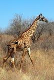 θαμνώδης giraffe σαβάνα Στοκ εικόνα με δικαίωμα ελεύθερης χρήσης