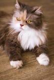 Θαμνώδης γάτα που βάζει στο ξύλινο πάτωμα στοκ εικόνες με δικαίωμα ελεύθερης χρήσης
