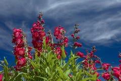 Θαμνώδη κόκκινα λουλούδια και σύννεφα Στοκ φωτογραφίες με δικαίωμα ελεύθερης χρήσης