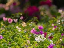 Θαμπάδα των λουλουδιών Bougainvillea Στοκ φωτογραφία με δικαίωμα ελεύθερης χρήσης