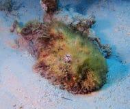 Θανάσιμη Ερυθρά Θάλασσα Stonefish Στοκ Εικόνα