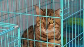 Γάτα της Βεγγάλης με τα πράσινα μάτια απόθεμα βίντεο