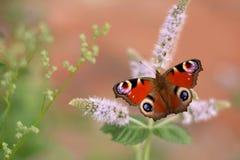 Θαυμάσια ζωηρόχρωμη πεταλούδα peacock που σκαρφαλώνει στο ρόδινο λουλούδι στοκ εικόνες
