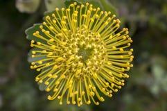 Θαυμάσια κίτρινα λουλούδια condifolium Leucospermum στην άνθιση Στοκ Εικόνες