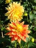 Θαυμάσια κίτρινος-ερυθρά λουλούδια νταλιών στοκ φωτογραφίες