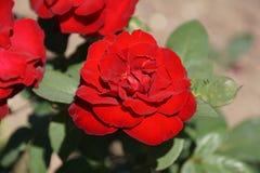 Θαυμάσια κόκκινα τριαντάφυλλα Στοκ φωτογραφία με δικαίωμα ελεύθερης χρήσης