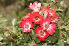 Θαυμάσια κόκκινα τριαντάφυλλα Στοκ Εικόνες