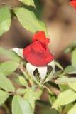 Θαυμάσια κόκκινα τριαντάφυλλα Στοκ Φωτογραφίες