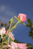 Θαυμάσια κόκκινα τριαντάφυλλα Στοκ φωτογραφίες με δικαίωμα ελεύθερης χρήσης