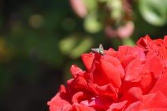 Θαυμάσια κόκκινα τριαντάφυλλα Στοκ Φωτογραφία