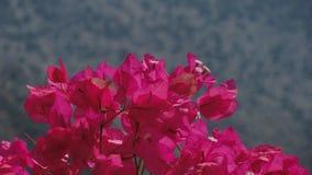 Θαυμάσια λουλούδια με έναν βαθύ - ρόδινο χρώμα Μπροστινή άποψη - Crète Στοκ Εικόνες
