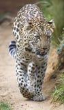 Θαυμάσια μεγάλη γάτα λεοπαρδάλεων Στοκ Φωτογραφίες