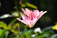 Θαυμάσια λουλούδια άνοιξη Στοκ Εικόνες