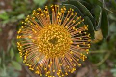 Θαυμάσια πορτοκαλιά κίτρινα λουλούδια condifolium Leucospermum στην άνθιση Στοκ Εικόνες