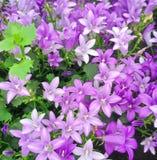 Θαυμάσια πορφυρά και χρωματισμένα πασχαλιά λουλούδια Campanula Ambella Στοκ φωτογραφία με δικαίωμα ελεύθερης χρήσης