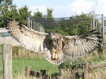 Θαυμάσια προσγειωμένος φτερά μπούφων που διαδίδονται στοκ φωτογραφία με δικαίωμα ελεύθερης χρήσης