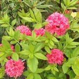 Θαυμάσια ρόδινα λουλούδια ενός Rhododendron αζαλεών θάμνου Στοκ Εικόνες