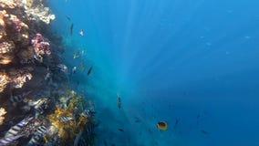 Θαυμάσια υποβρύχια άποψη με τα ζωηρόχρωμα ριγωτά ψάρια στη Ερυθρά Θάλασσα απόθεμα βίντεο