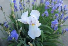Θαυμάσιες άσπρες και μπλε ίριδες τον Ιούνιο Στοκ φωτογραφία με δικαίωμα ελεύθερης χρήσης