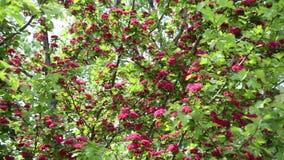 Θαυμάσιες ανθίσεις κλαδίσκων δέντρων κραταίγου κλίσης (laevigata crataegus) φιλμ μικρού μήκους