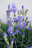 Θαυμάσιες μπλε ίριδες τον Ιούνιο Στοκ Εικόνες