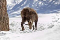 Θαυμάσιοι αίγαγροι στο εθνικό πάρκο, Aosta Στοκ φωτογραφίες με δικαίωμα ελεύθερης χρήσης
