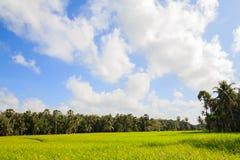 Θαυμάσιοι πράσινοι τομέας και μπλε ουρανός ρυζιού Στοκ Εικόνες