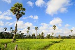Θαυμάσιοι πράσινοι τομέας και μπλε ουρανός ρυζιού Στοκ φωτογραφία με δικαίωμα ελεύθερης χρήσης