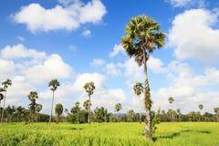 Θαυμάσιοι πράσινοι τομέας και μπλε ουρανός ρυζιού Στοκ Φωτογραφίες