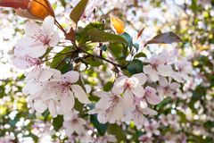 Θαυμάσιος ανθίζοντας κλάδος άνοιξη χλωμού - ρόδινο sakura Στοκ Φωτογραφίες