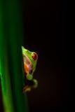 Θαυμάσιος εξωτικός βάτραχος, τροπικό θέμα στοκ φωτογραφία