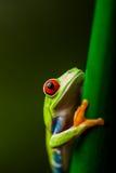 Θαυμάσιος εξωτικός βάτραχος, τροπικό θέμα στοκ φωτογραφίες