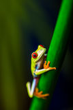 Θαυμάσιος εξωτικός βάτραχος, τροπικό θέμα στοκ εικόνα με δικαίωμα ελεύθερης χρήσης