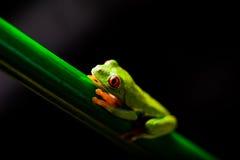 Θαυμάσιος εξωτικός βάτραχος, τροπικό θέμα στοκ φωτογραφία με δικαίωμα ελεύθερης χρήσης